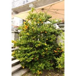 Graines de Orange CHINOTTO (Citrus myrtifolia) 6 - 8