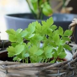 Σπόρους Ιαπωνικό Μαϊντανό (Cryptotaenia japonica) 1.35 - 1