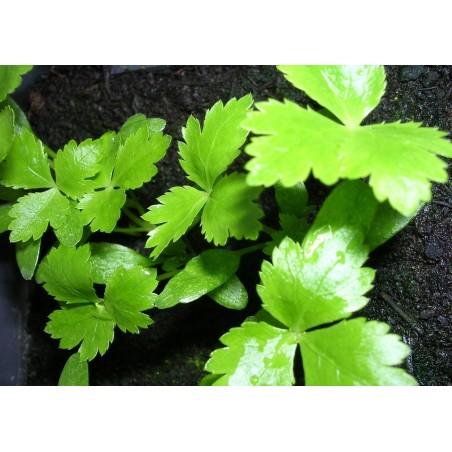 Mitsuba Japanese Parsley Seeds (Cryptotaenia Japonica) 1.35 - 4