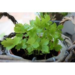 Mitsuba Japanese Parsley Seeds (Cryptotaenia Japonica) 1.35 - 5
