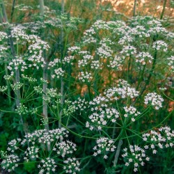 Semillas de ANIS Aromática (Pimpinella anisum) 2.25 - 1