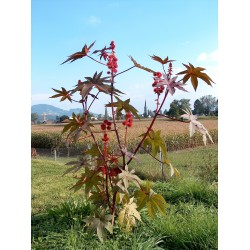 Ricin Frön (växt) (Ricinus communis) 1.85 - 6