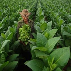 HAV. COROJO Tobacco Seeds 2.45 - 2