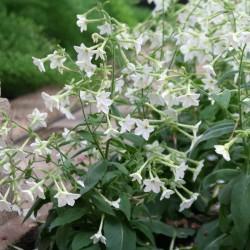 Stor blomstertobak Vit Frön (Nicotiana alata) 2 - 1