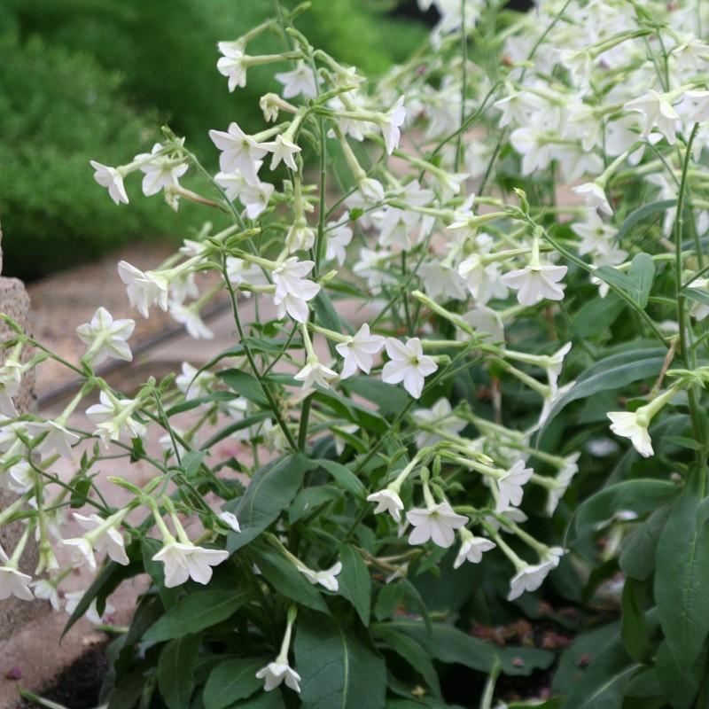 Jasmine Tobacco, Flowering Tobacco Seeds 2 - 1