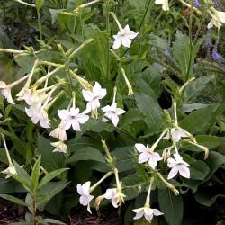 Ziertabak Weis Samen (Nicotiana alata) 2 - 2