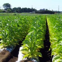 Graines de Tobacco Latakia Peremochez Orient 1.95 - 2
