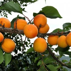 Semillas de Manchurian Albaricoque 4.5 - 2