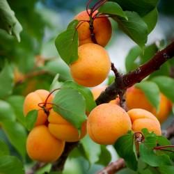Graines Abricotier MANCHURIAN APRICOT Prunus Armeniaca 4.5 - 3