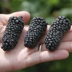 Riesen Brombeeren Samen 1.85 - 1