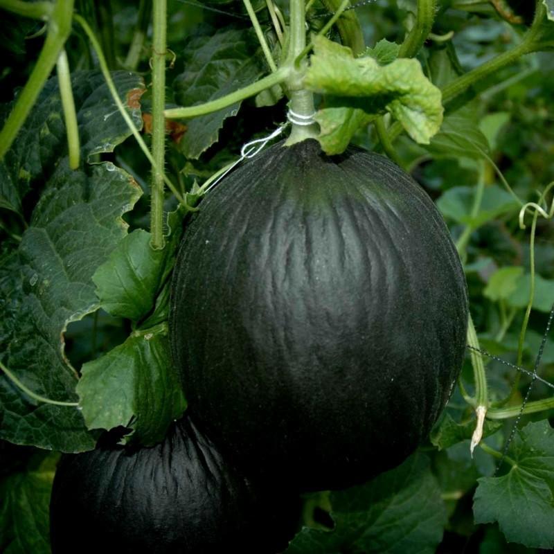 Schwarze Zuckermelone Samen 2.45 - 4