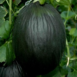 Semillas de Melón Tendral negro 2.45 - 3