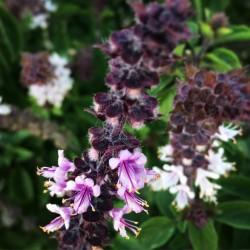 Semi di Basilico MIX 4 diverse varietà 2 - 5