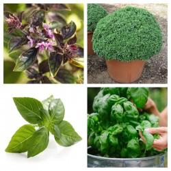Semillas Albahaca MIX 4 variedades diferentes 2 - 6