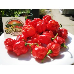 Trinidad Moruga Scorpion Seeds Worlds Hottest 1.95 - 4