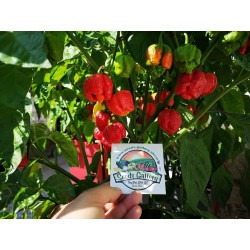 Trinidad Moruga Scorpion Seeds Worlds Hottest 1.95 - 6