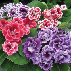 Garten Gloxinien Brocade Double mix Samen 2.45 - 1