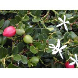 Graines de Prune Du Natal (Carissa Macrocarpa) 2.5 - 5
