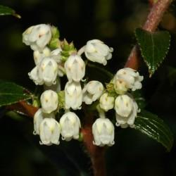 Graines De Tasmanian Snowberry délicieux fruits 1.35 - 1
