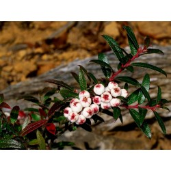 Tasmanian Snow Berry Seeds - delicious fruits 1.35 - 2