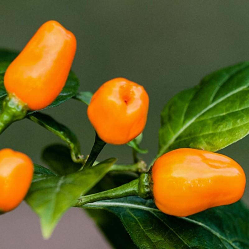 Cumari eller Passarinho Chili Frön (Capsicum chinense) 2 - 2