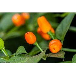 Graines de Piments Cumari o passarinho (Capsicum chinense) 2 - 3