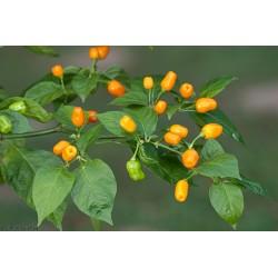 Semi Di Peperoncino Cumari o passarinho (Capsicum chinense) 2 - 5