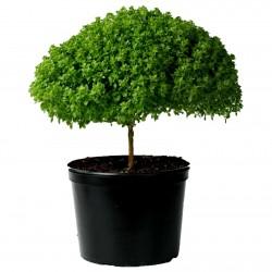 Basil Greek Bascuro seeds...
