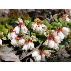 Wilde Preiselbeere Samen 1.85 - 5
