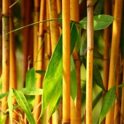 Semi di Bambù Dorato (Phyllostachys aurea) 1.95 - 10