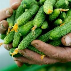 """Cucumber """"Shosha"""" F1..."""