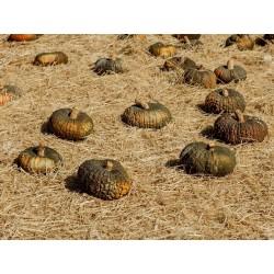 Marina Di Chioggia pumpkin Seeds 1.99 - 3