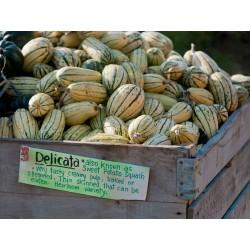 Zucchini Delicata Bush Kürbis Samen 2 - 2