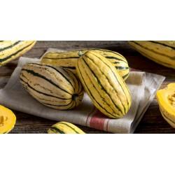 Zucchini Delicata Bush Kürbis Samen 2 - 3