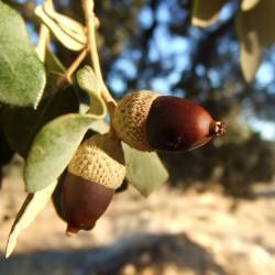 Evergreen Oak, Holly Oak Seeds (Quercus ilex) 4.85 - 4