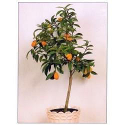 Kumkvat Seme (Fortunella margarita)