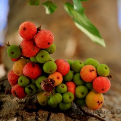 Cluster fig Seeds (Ficus racemose) 2.1 - 1
