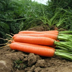 Carrot seeds, long blunt, xylem free (heart) 2.35 - 1