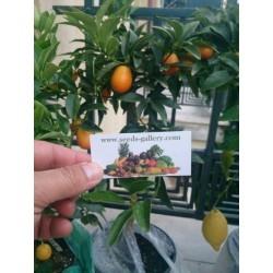 Semi di Kumquat o Mandarino Cinese (Fortunella Margarita)