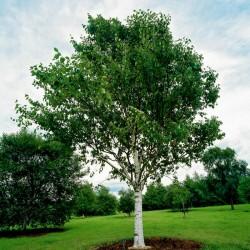 Birken Samen (Betula) 1.95 - 2