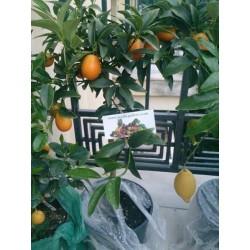 Kumquat Samen (Fortunella margarita)