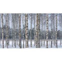 Birch Tree Seeds (Betula) 1.95 - 4