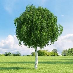 Birken Samen (Betula) 1.95 - 9