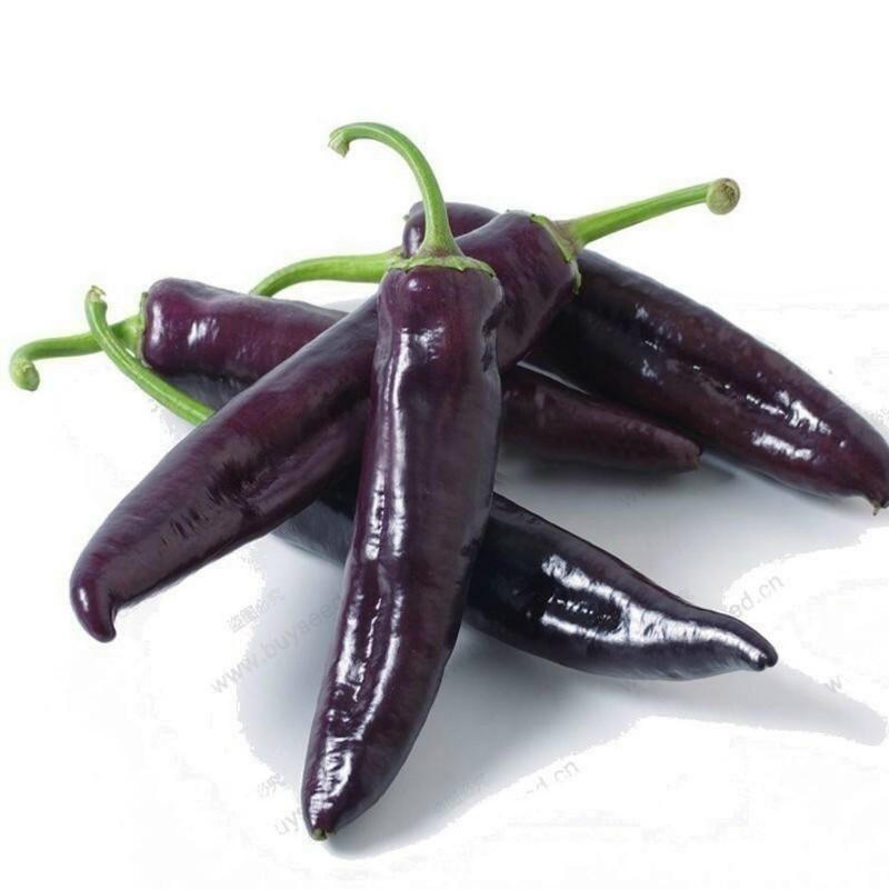 MARCONI PURPLE Violett Paprika Samen 1.65 - 1