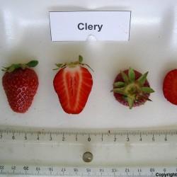 Erdbeersorte CLERY Samen - frühe sorte 2 - 3