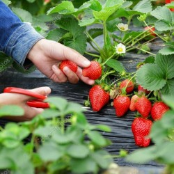 Erdbeersorte CLERY Samen - frühe sorte 2 - 2
