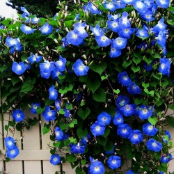 Annuel Kletterpflanze Morning Glory Electric Blue Ipomoea 25 Samen
