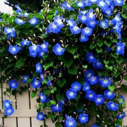 Semillas de Morning Glory (Ipomoea tricolor) 1.95 - 1