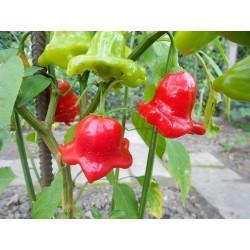Graines de Piments Chili Bishops Crown