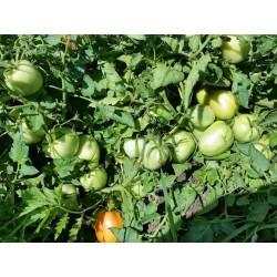 Tomatensamen Alparac - Sorte aus Serbien. 1.95 - 3